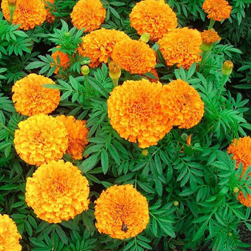 Cúc Vạn Thọ có nguồn gốc từ Mexico
