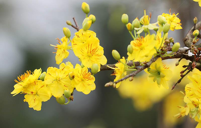 Hoa Mai có nguồn gốc từ Trung Quốc