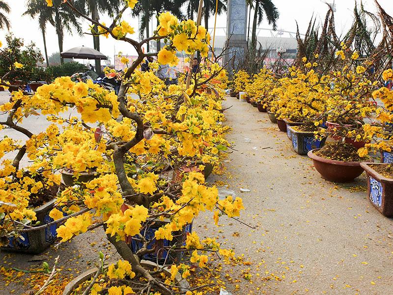 Mặc cho thời tiết Đông hoa Mai vẫn quật cường trước gió