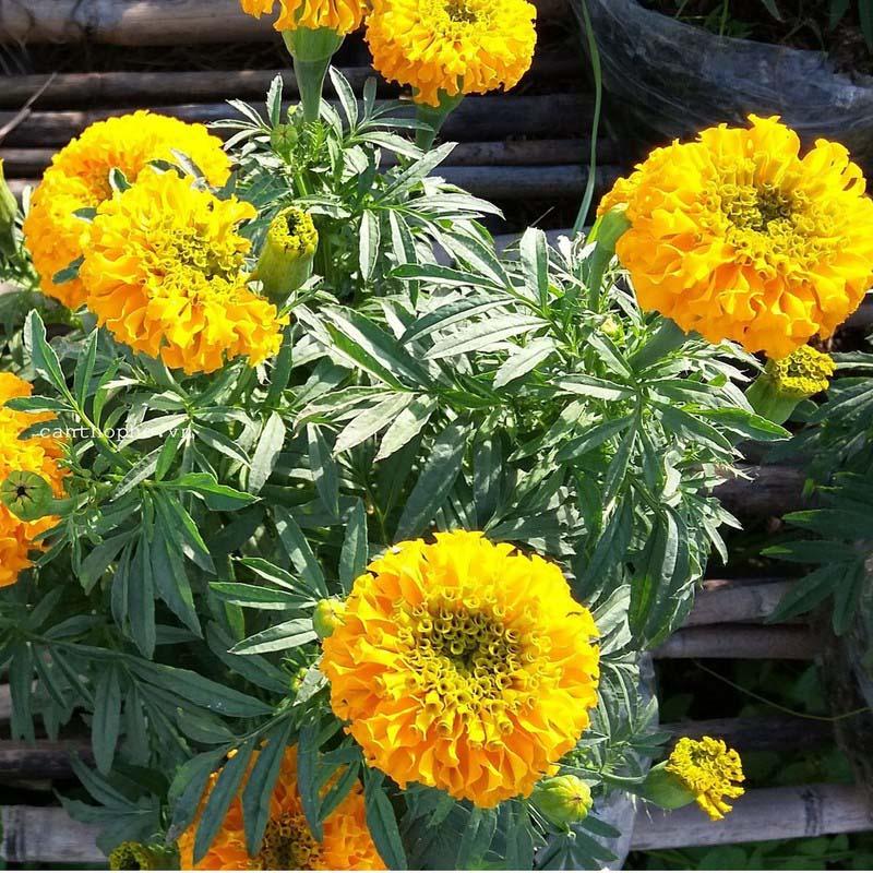 Cúc Vạn Thọ là vị thuốc để trị bệnh trong Đông Y