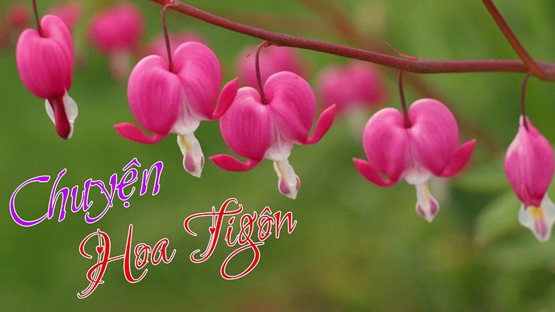 Hoa Ti Gôn - Là biểu tượng của trái tim rỉ máu
