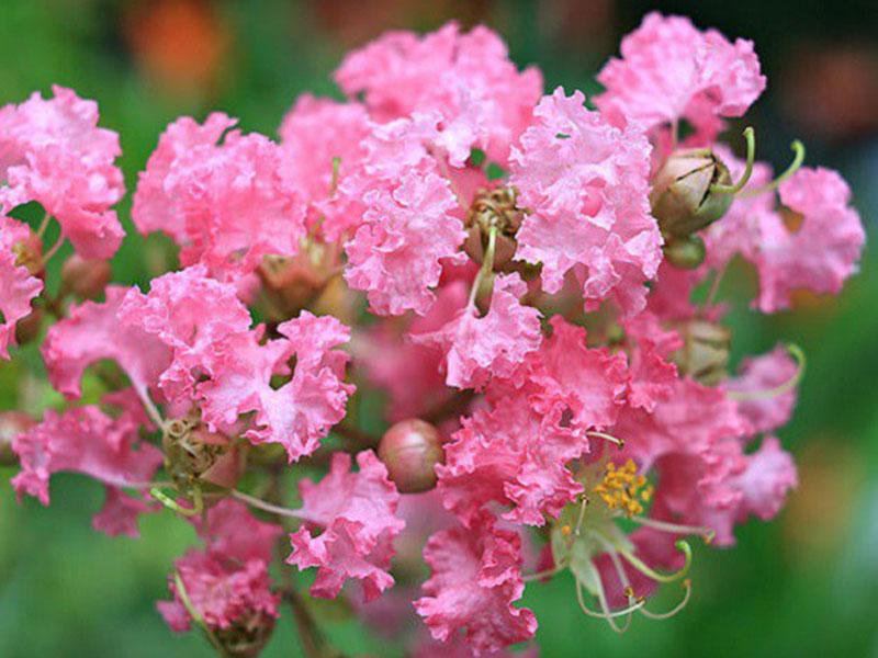 Hoa Tường Vi là loài hoa có nguồn gốc từ các nước Đông Á
